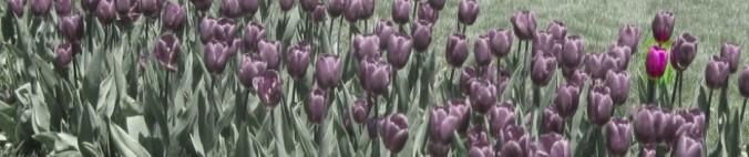 cropped-tulip-header1.jpg