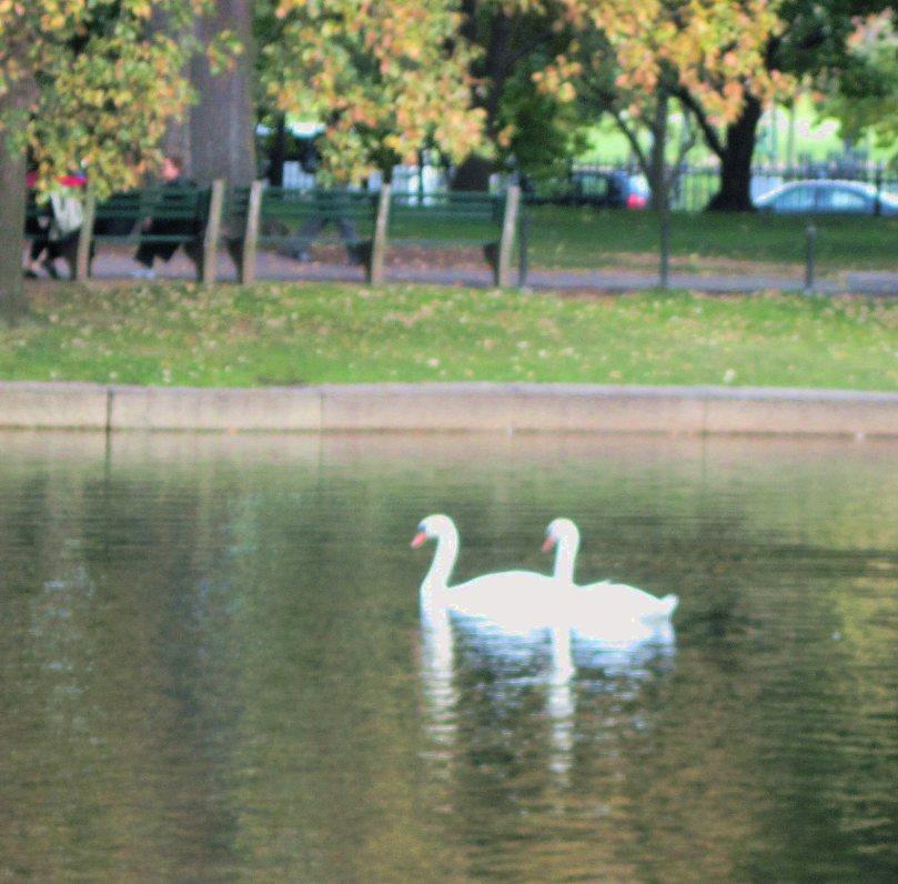 2c5ac-swans