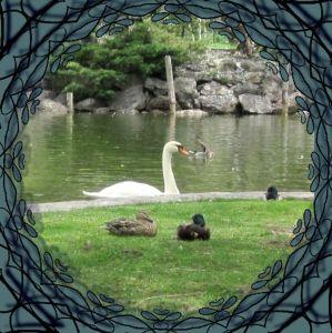 Swan and Ducks