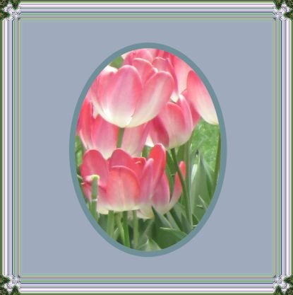Pink tulips framed
