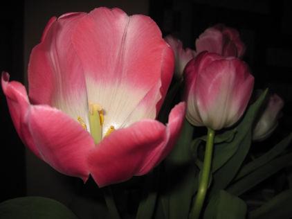 Open Tulip